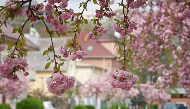 Sakura en Mukáchevo florecerá 'en línea'