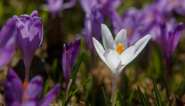 Le crocus «d'hiver» est en train de fleurir en Transcarpatie
