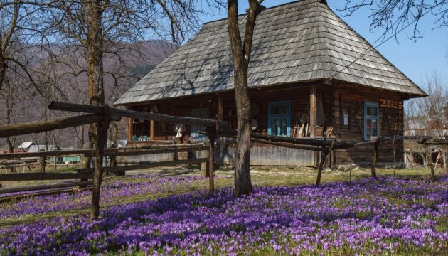 Crocus plants blooming in Zakarpattia region