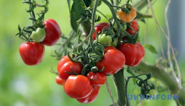 Экспорт томатов из Украины практически остановился из-за недостатка продукции - эксперты
