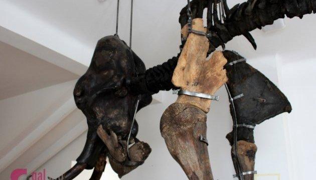 Un mammouth retrouvé dans les Carpates va être exposé dans un musée de Lviv