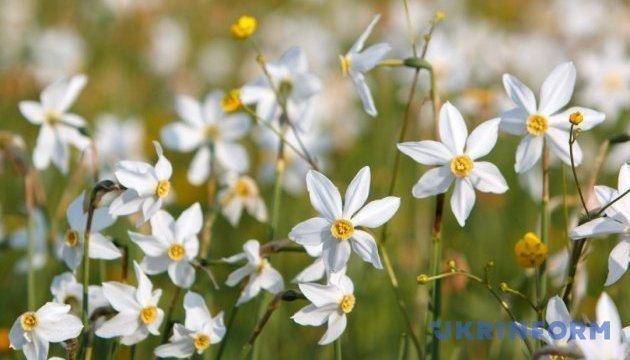 Narzissenblüte in Transkarpatien - Bilder