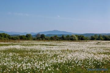 La vallée des jonquilles a fleuri en Transcarpatie (photos)