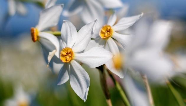 El Valle de narcisos florece en Transcarpatia (Fotos, Vídeo)