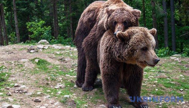 На Буковині камера лісівників зафільмувала родину бурих ведмедів