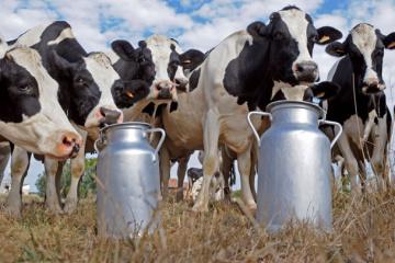 Milchproduktion innerhalb des Jahres um 4,2 Prozent zurückgegangen
