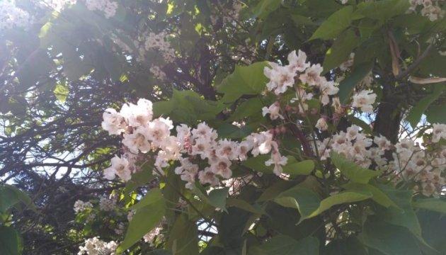 У Чернівцях розквітли катальпи