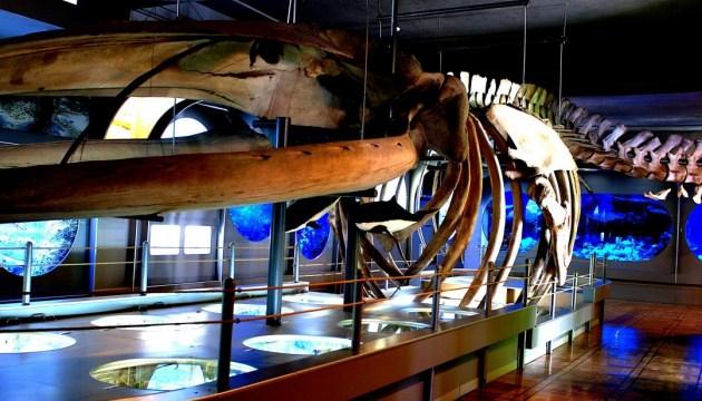 Скелет у музеї