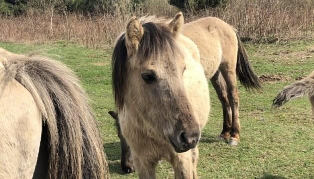 Яворівський нацпарк запрошує до нащадків дикого коня-тарпана