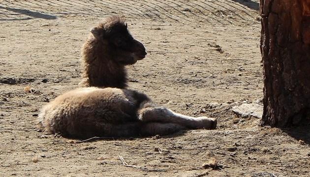 Харків'ян запрошують вибрати ім'я новонародженому верблюденяті