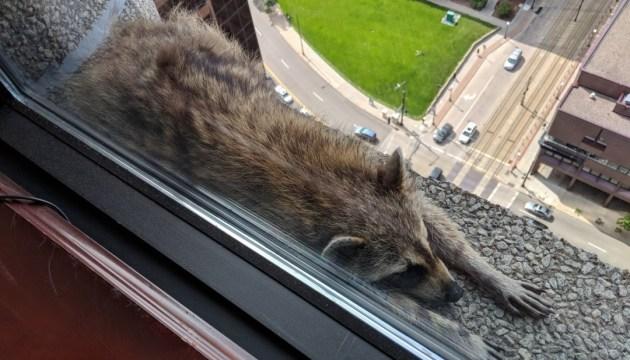 Пушистый спайдермен: в США енот забрался на крышу небоскреба