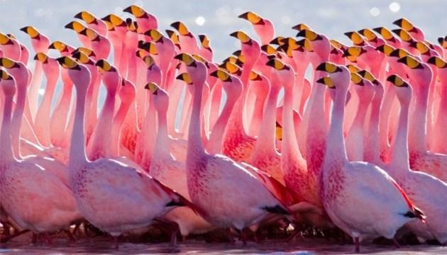 Уникальные розовые фламинго вернулись на Сиваш