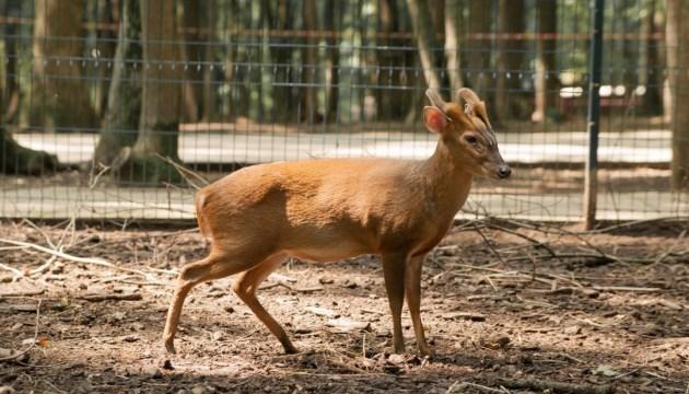 У київському зоопарку поселилися олені, що гавкають