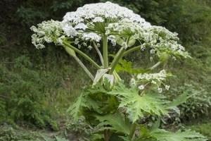 Як схожа на кріп отруйна рослина може наробити лиха