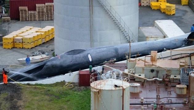 Ісландію звинувачують у вбивстві кита рідкісного виду