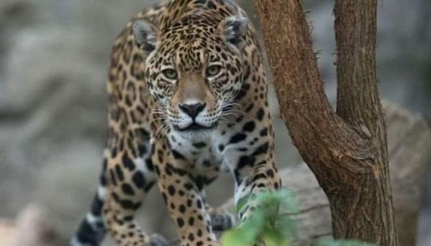 В зоопарке Нового Орлеана ягуар сбежал на