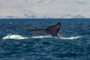 В Австралии на берег выбросились почти полтысячи китов, около 200 погибли
