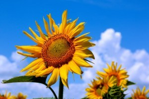Ukraine's grain and sunflower yield increases significantly since 2014 – report