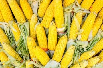 Die Ukraine wird Export von Mais der Ernte 2019 nicht einschränken