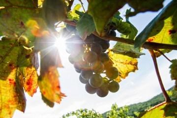 乌克兰最大的葡萄酒节的参与者在拍卖会上被选中