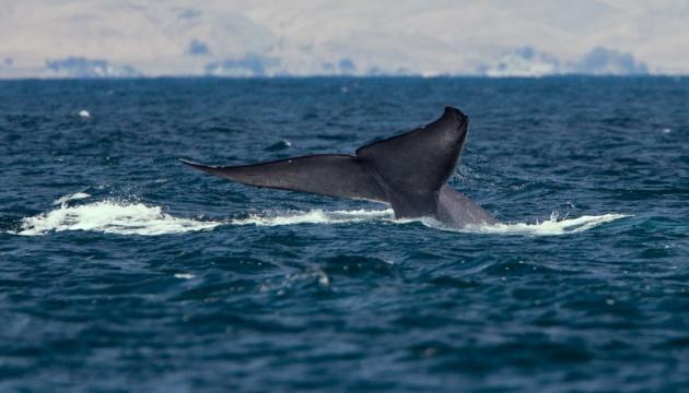 Япония возобновила охоту на китов