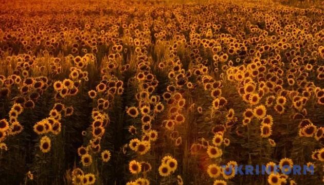 Україна у 2018 році закупила насіння соняшнику на 10% більше, ніж роком раніше