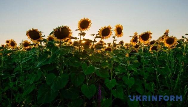 Українські аграрії розпочали збирання соняшнику - Мінагро