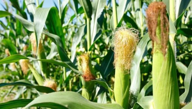 В Україні очікують рекордний урожай кукурудзи — Мінагро