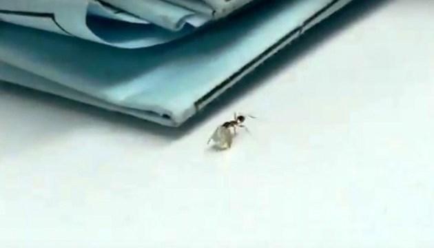 В Італії мураха хотіла