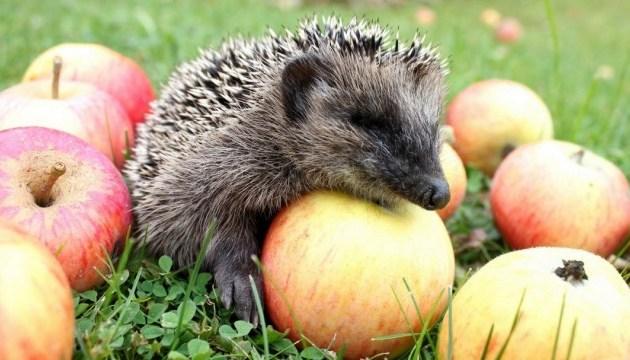 Weißrussland, Moldawien und Österreich meiste Abnehmerländer ukrainischer Äpfel