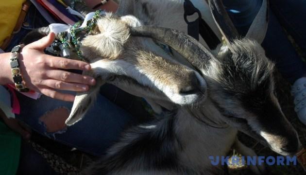 Там, где у козы раз в год свой праздник