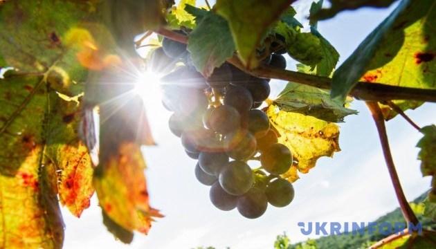 Французькі винороби починають збирати виноград на шампанське