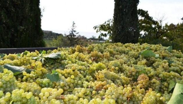 У Криму падає врожайність винограду, посадки скоротили