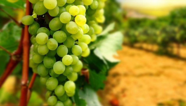 В Україні переробка винограду зменшилась удвічі