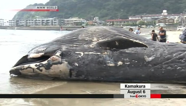 У шлунку мертвого кита знайшли пластик