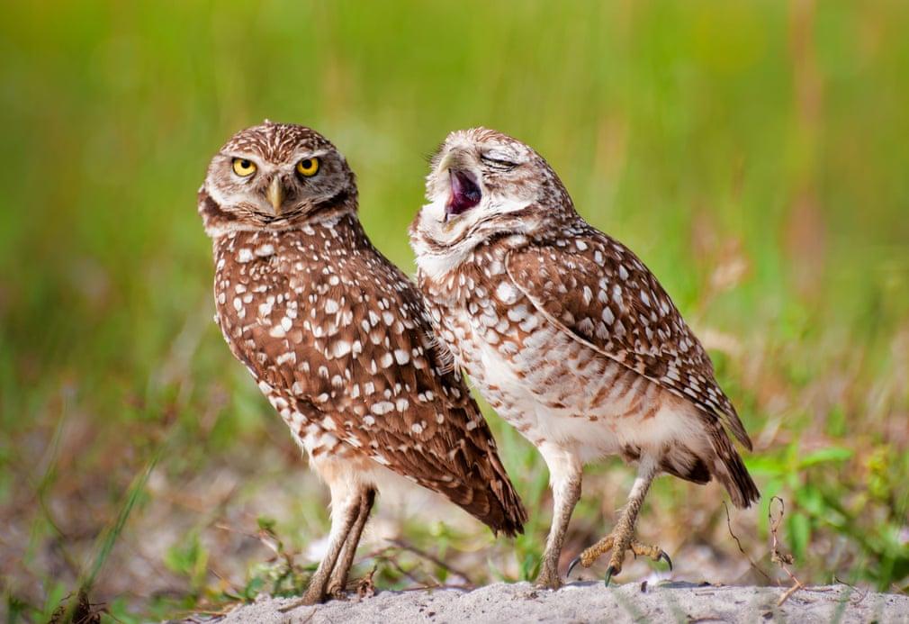Совы зевают. Фото: Danielle D'Ermo / Barcroft Images
