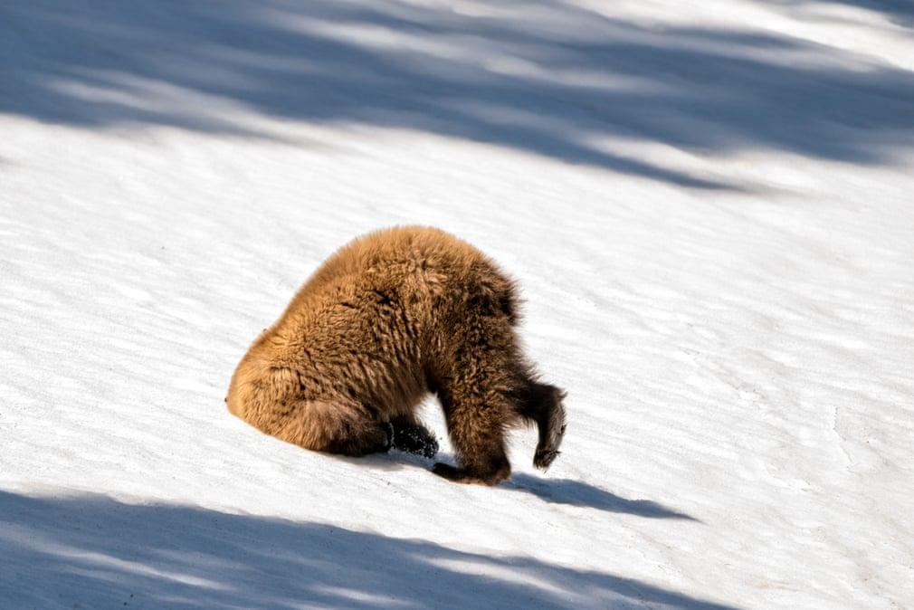 Медведь зарыл голову в снег. Фото: Patty Bauchman / Barcroft Images