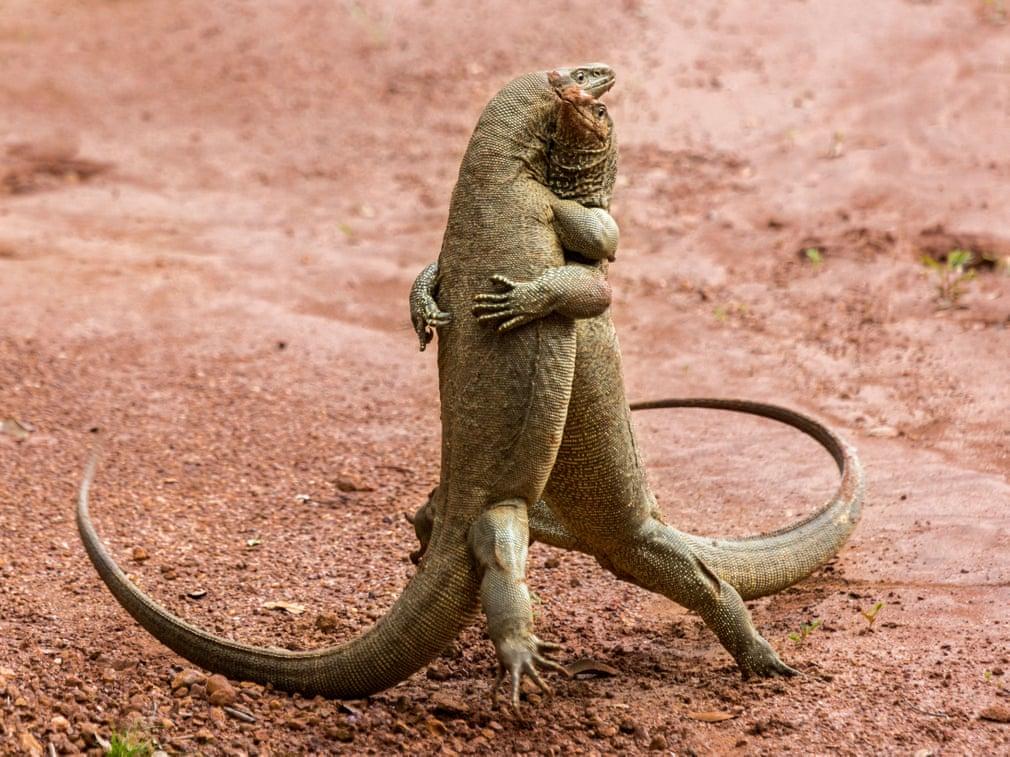 Две ящерицы танцуют. Фото: Sergey Savvi / Barcroft Images