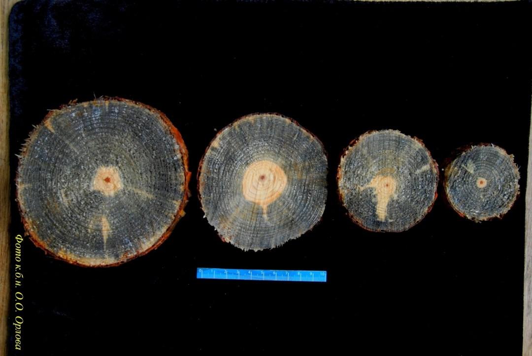 Перерізи стовбура всохлої 25-річної сосни, ураженої верхівковим короїдом та трахеомікозом хвойних