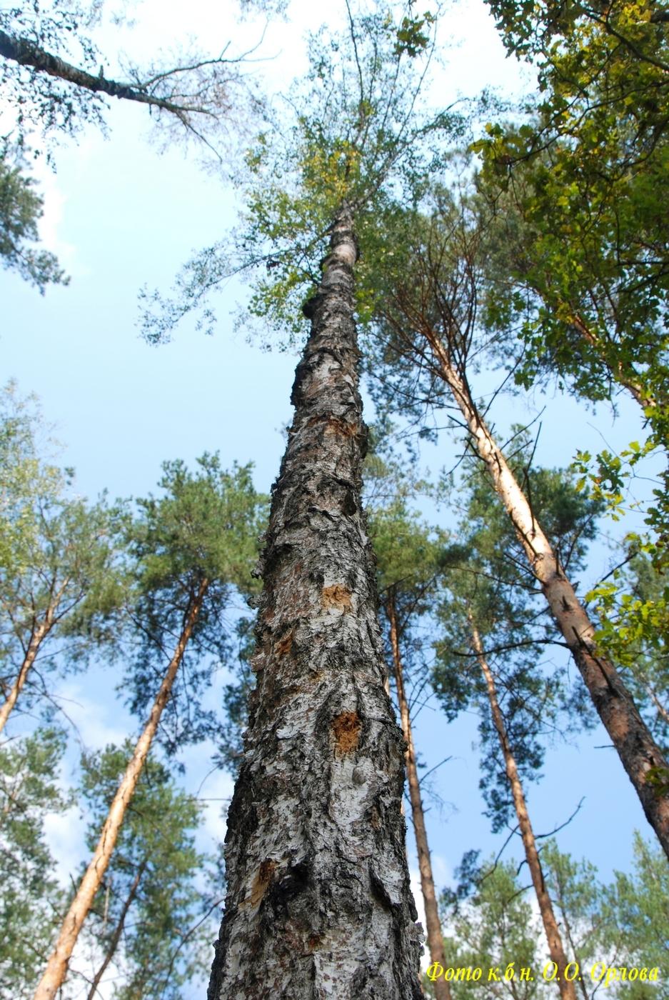Всихаюче дерево берези повислої, сильно уражене бактеріальною водянкою