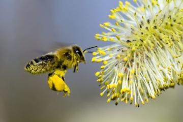 Пасічники назвали причину масової загибелі бджіл на Чернігівщині