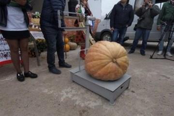 かぼちゃコンテスト、43キロの巨大かぼちゃが優勝