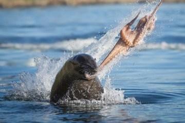Un phoque jette une pieuvre au visage d'un kayakiste (vidéo)