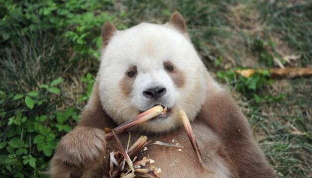 Редкая коричневая панда ест бамбук