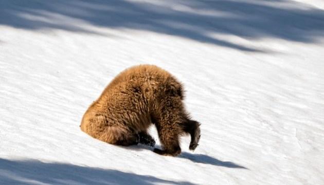 У Галицькому лісі ведмедиця залягла у зимову сплячку