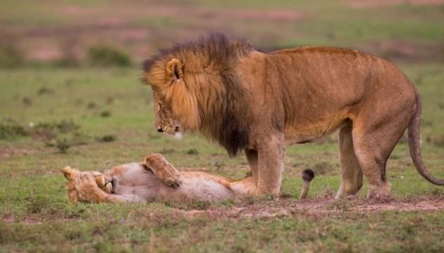 В четырех львов зоопарка Барселоны обнаружили COVID-19