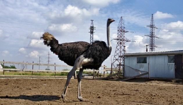 Полтавщина приваблюватиме туристів страусами