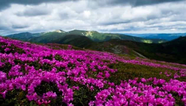 Повернення літа: в Карпатах несподівано зацвіла червона рута