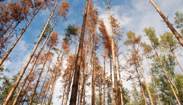 Большая беда от маленького жука: на Житомирщине массово усыхают сосновые леса