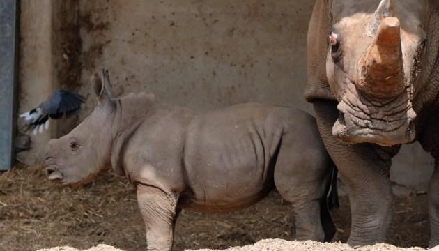 В израильском сафари-парке показали малыша белого носорога